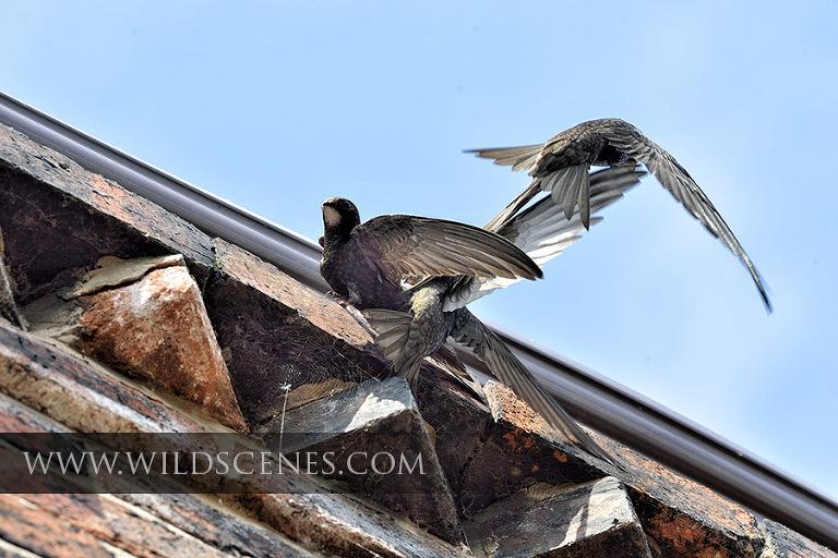 Common Swift (Apus apus) at the nest