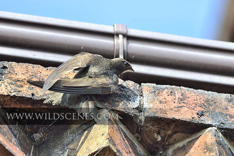 common swift at the nest site