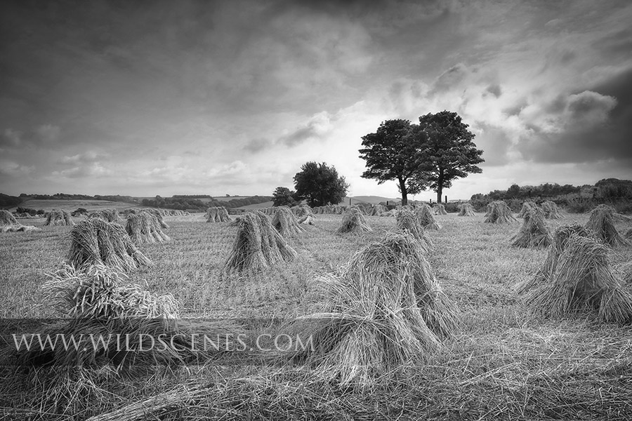 Yorkshire landscape photographer: stooks of corn drying in the field