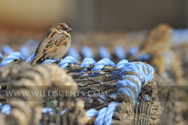 House sparrow on lobster pots, Scarborough