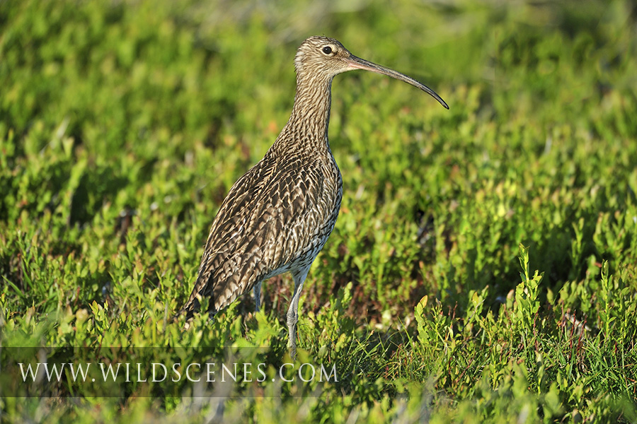 Curlew on the moors