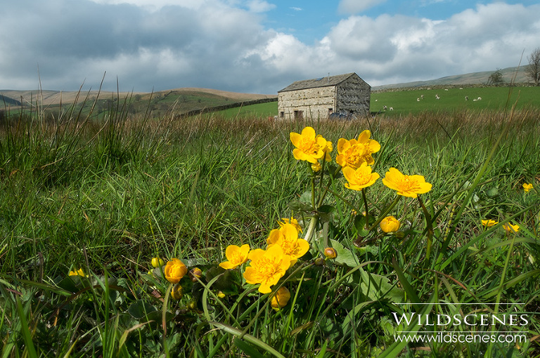 kingcups in Raydale. Yorkshire Dales landscape photography