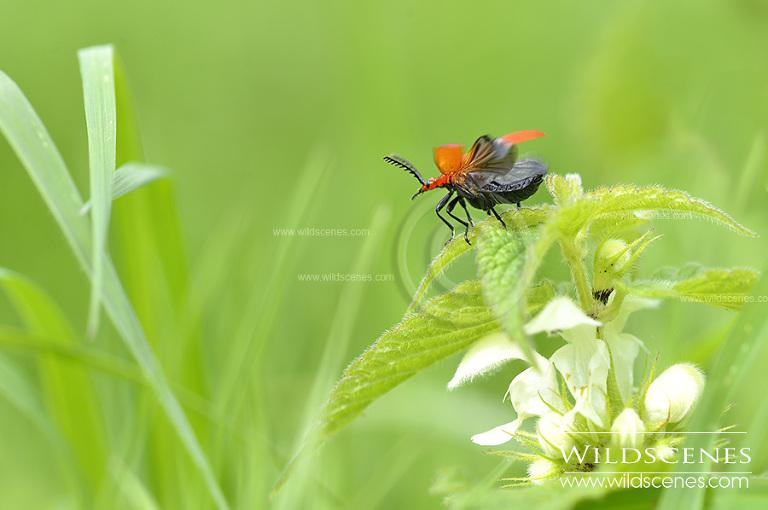 red soldier beetle (Rhagonycha fulva)