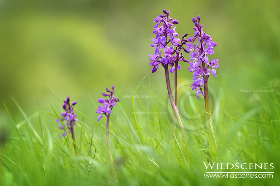 early purple orchid at Brockodale