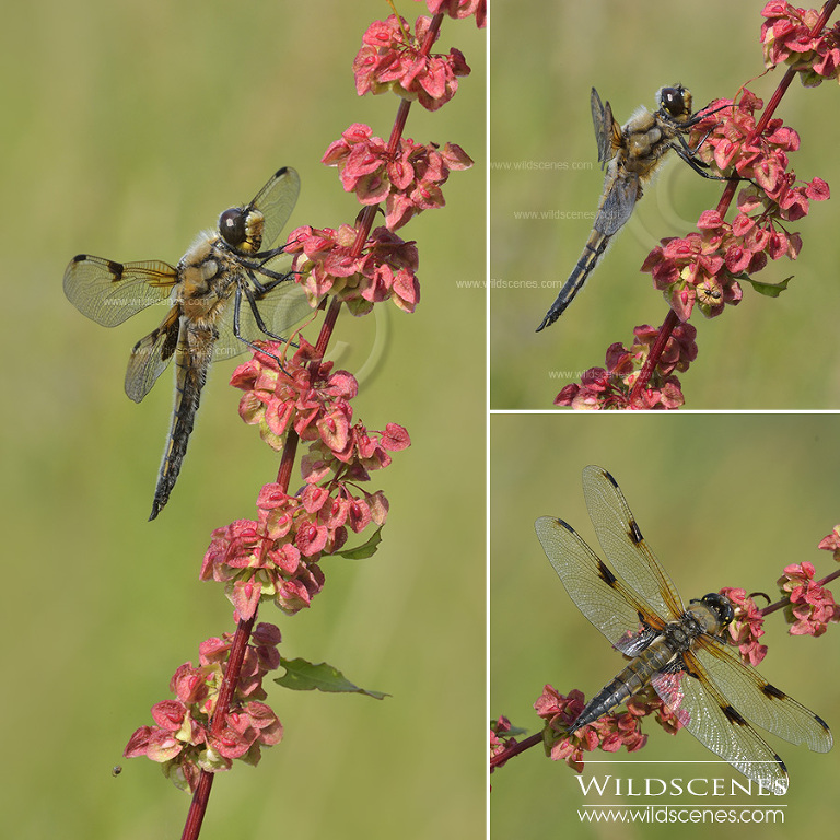 dragonflies in Yorkshire four spotted chaser