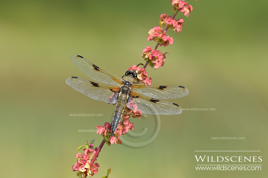 four spotted chaser in Yorkshire