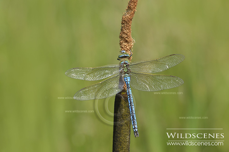 dragonflies in Yorkshire emperor dragonfly