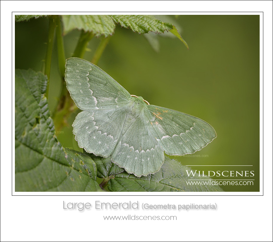 wildlife photography workshop: large emerald (Geometra papilionaria)
