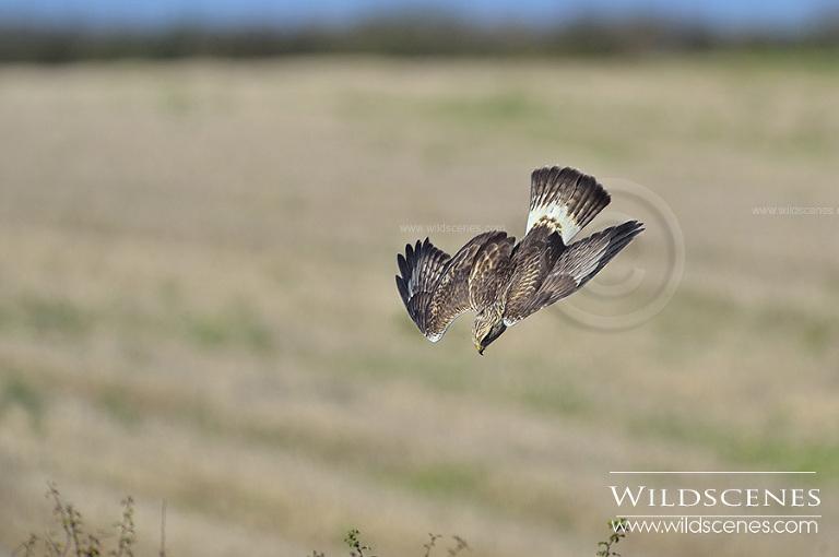 Rough-legged buzzard Grindale, East Yorkshire