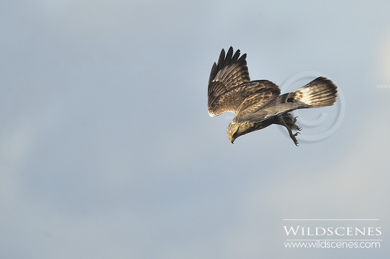Rough-legged buzzard Grindale, East Yorkshire