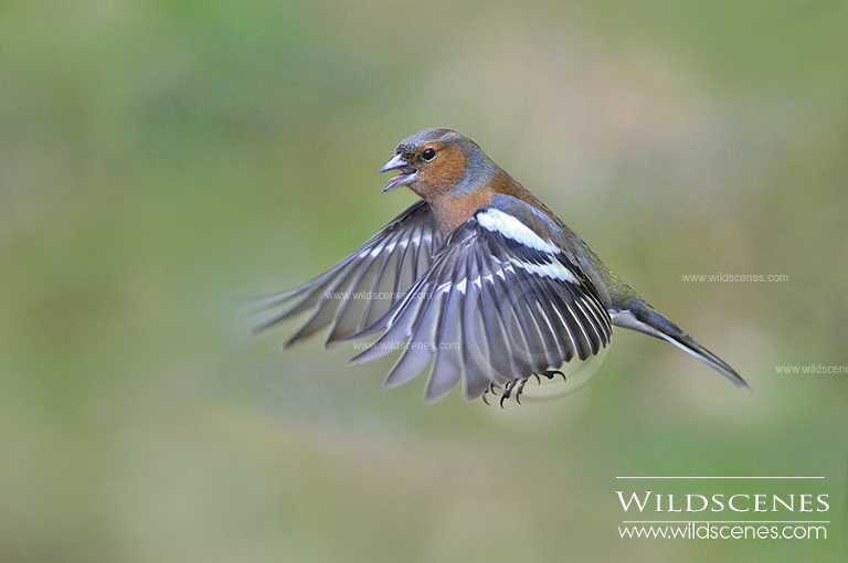 West Yorkshire nature photographer | bird photography chaffinch in flight