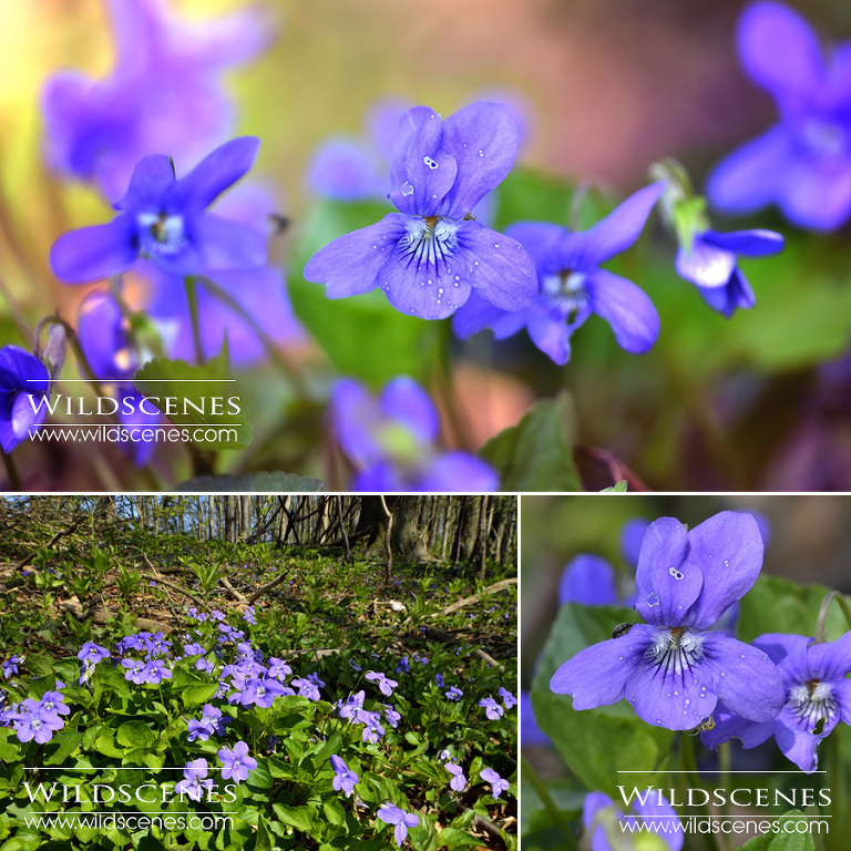 Wakefield wildlife photographer | Sweet violets