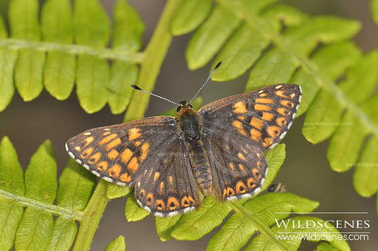 Duke of Burgundy Fritillary