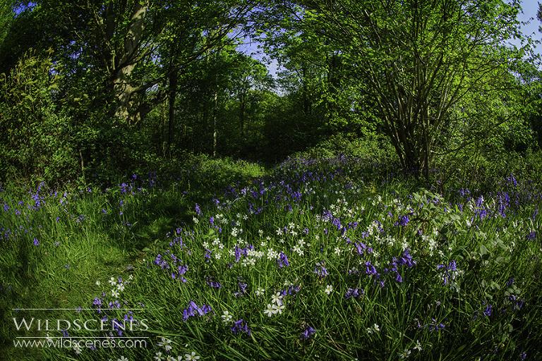 spring woodland bluebells & stitchwort
