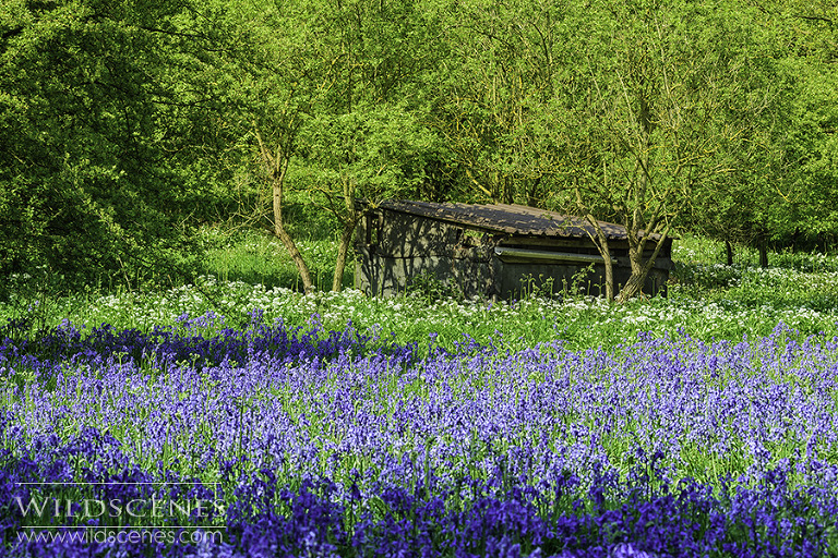 bluebells at Ox-close woods