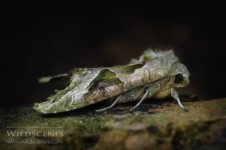 macro photography Angle shades moth | Yorkshire wildlife photogapher