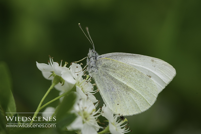 small white on hawthorn