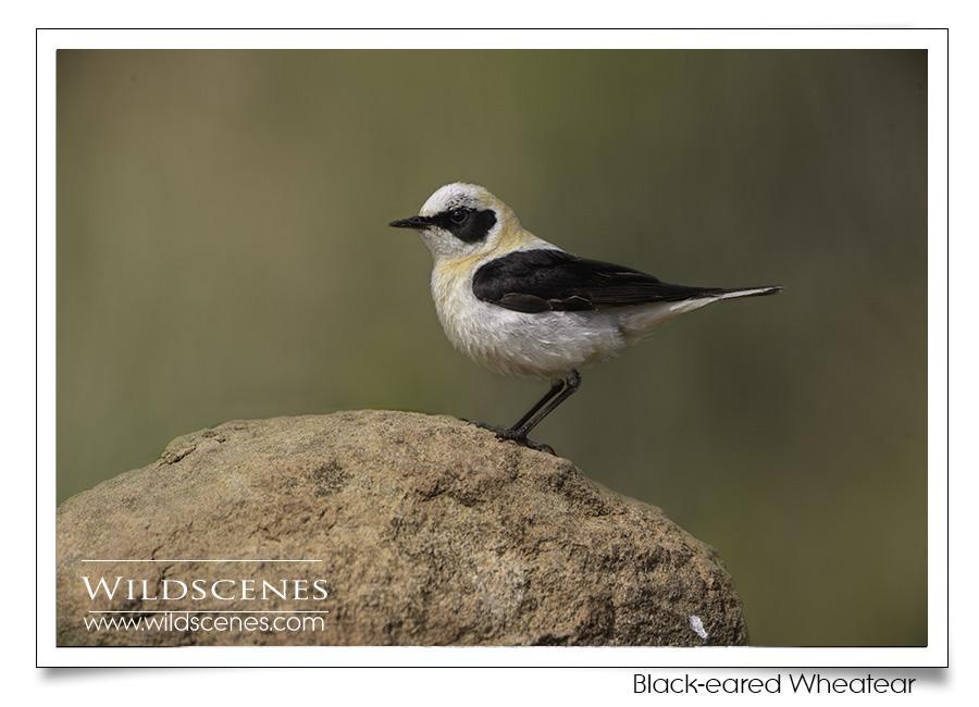bird photography Spain | black-eared wheatear