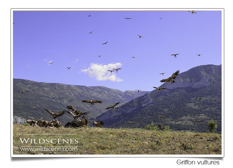 Bird photography in Spain | Griffon vultures
