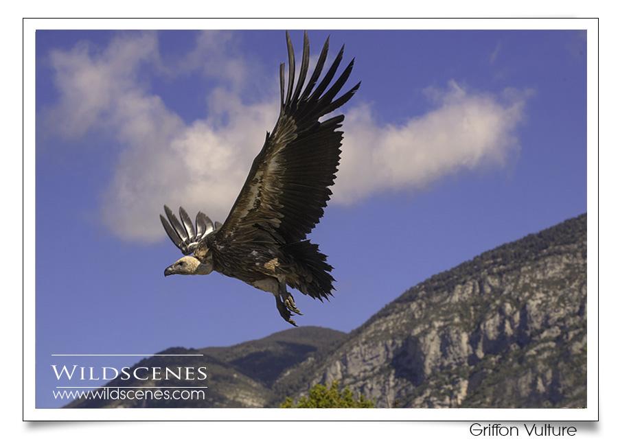 bird photography Spain | griffon vulture