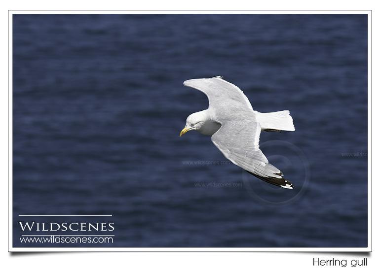 Herring Gull Nikon D500
