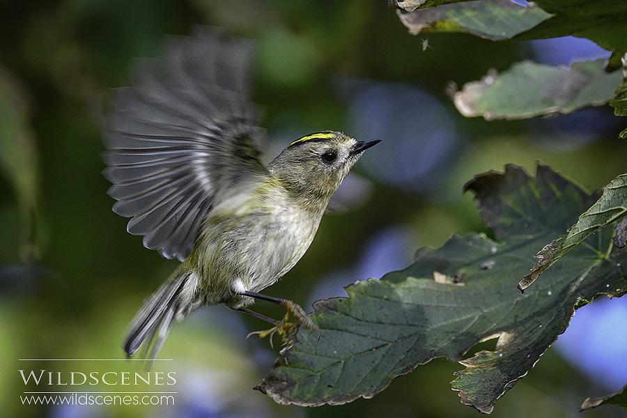 goldcrest hovering