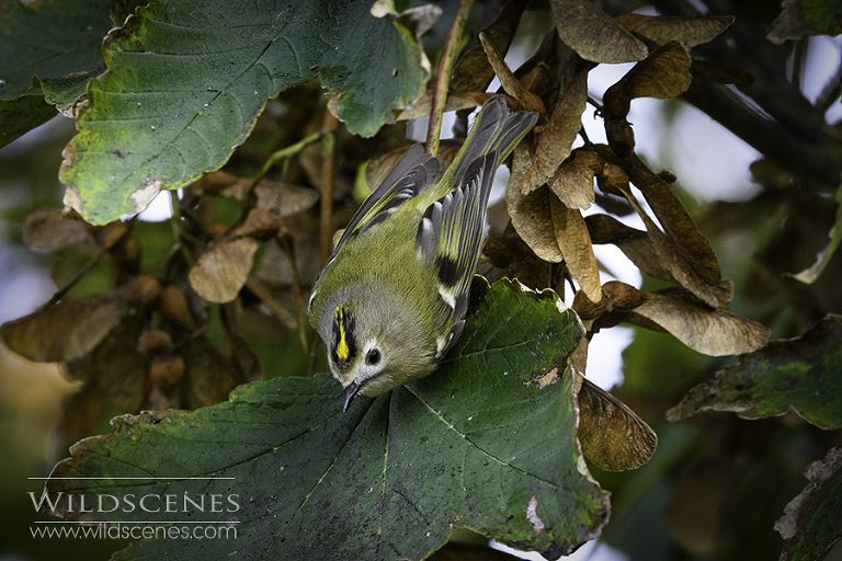 goldcrest in sycamore
