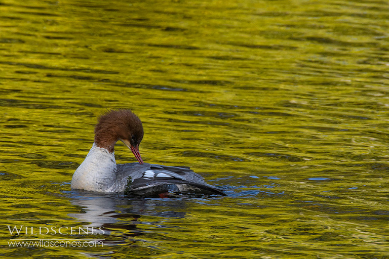 goosander at Nostell Priory