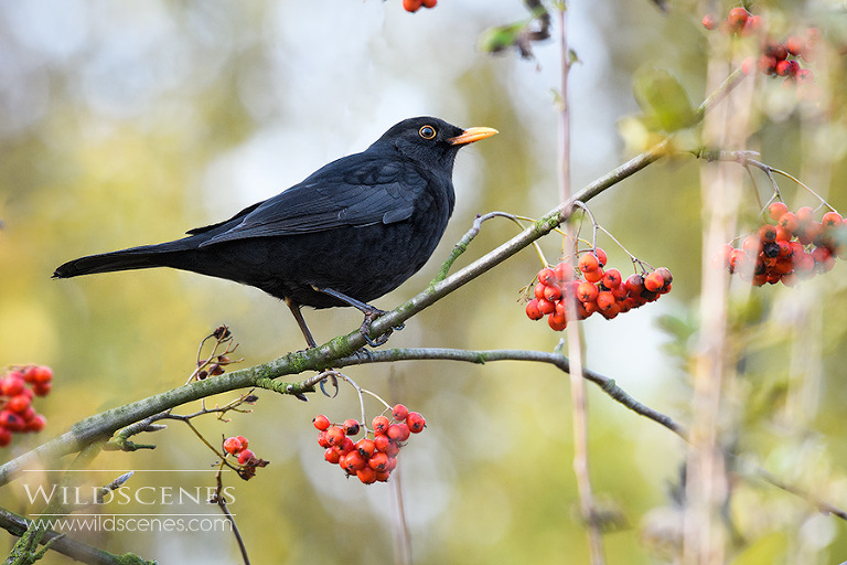 blackbird on rowan berry