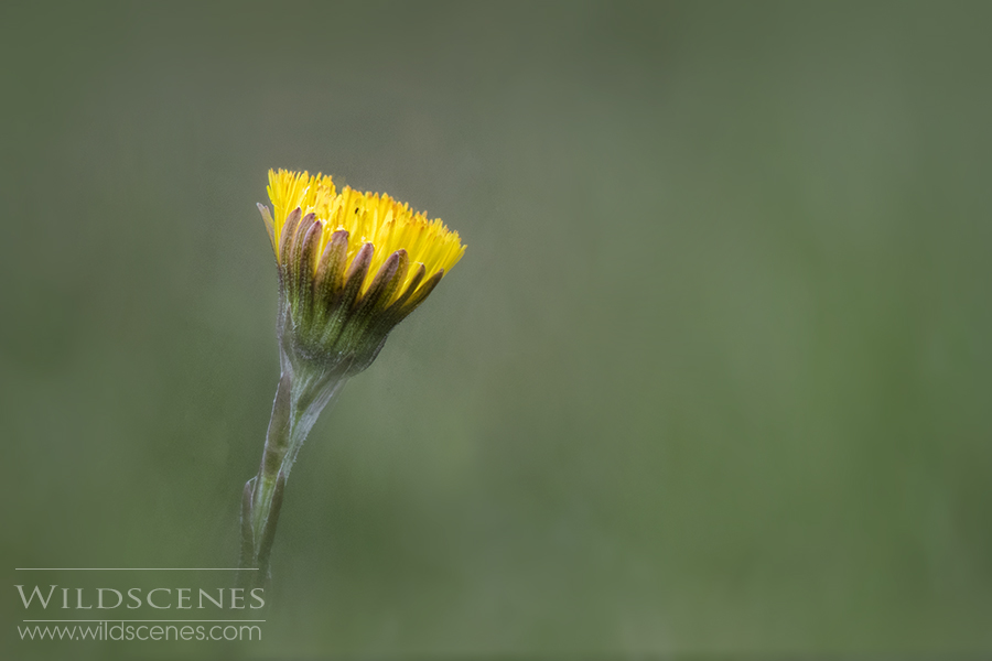 coltsfoot heralds soring