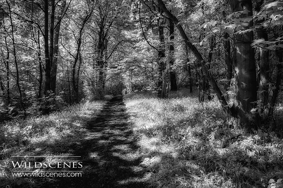 bluebell woods in infra-red