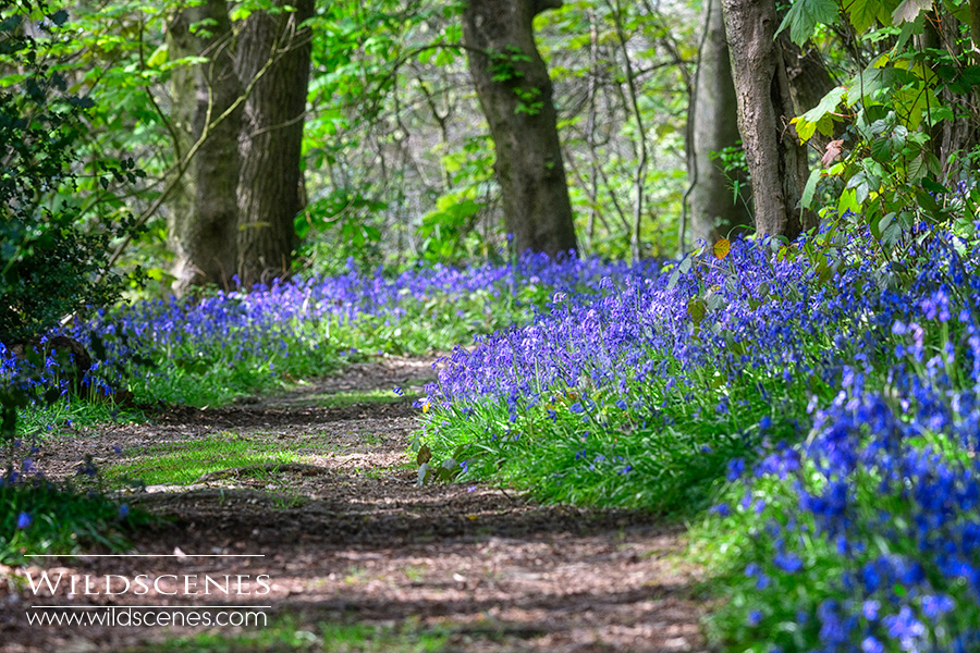 bluebell woods Wakefield