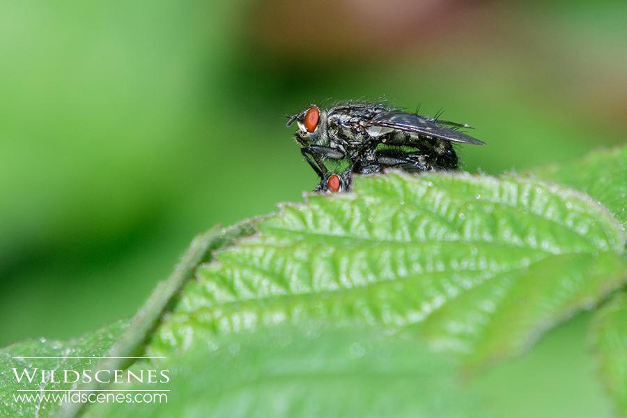 carrion flies mating