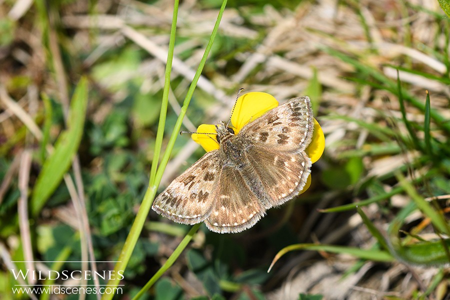 dingy skipper | beetles and butterflies