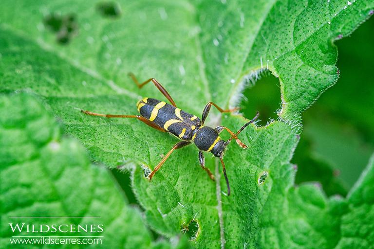 wasp beetle | beetles and butterflies