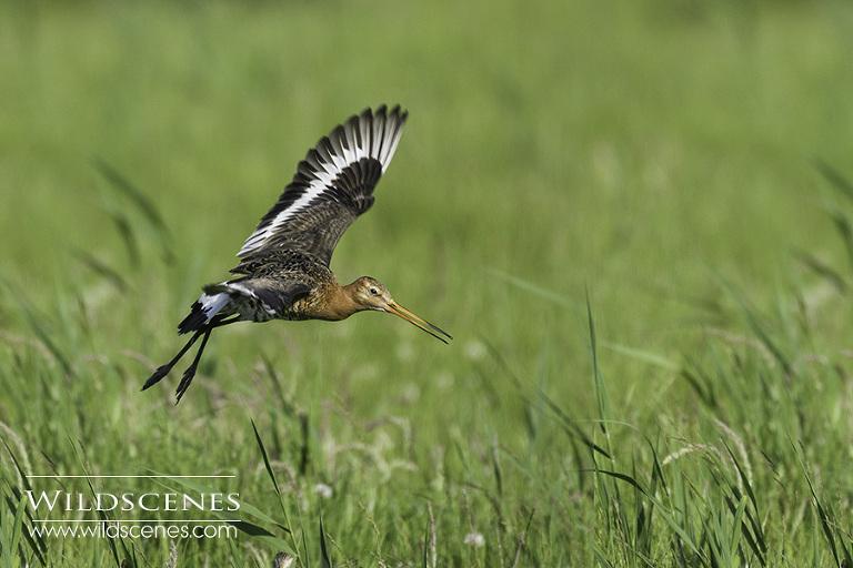 bird photography on Texel : black tailed godwit