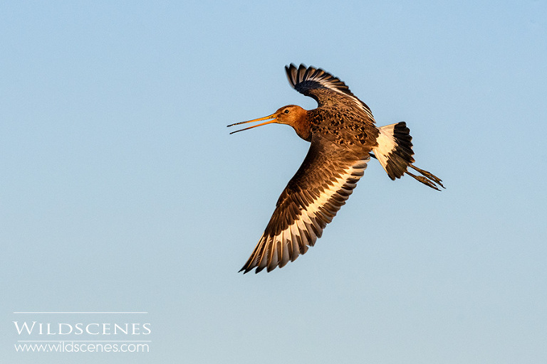 black-tailed godwit Texel