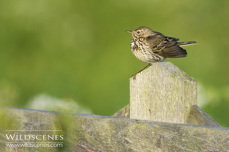 meadow pipit on Texel