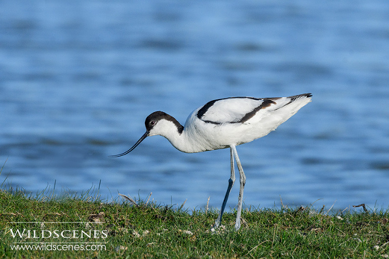 bird photography on Texel | avocet