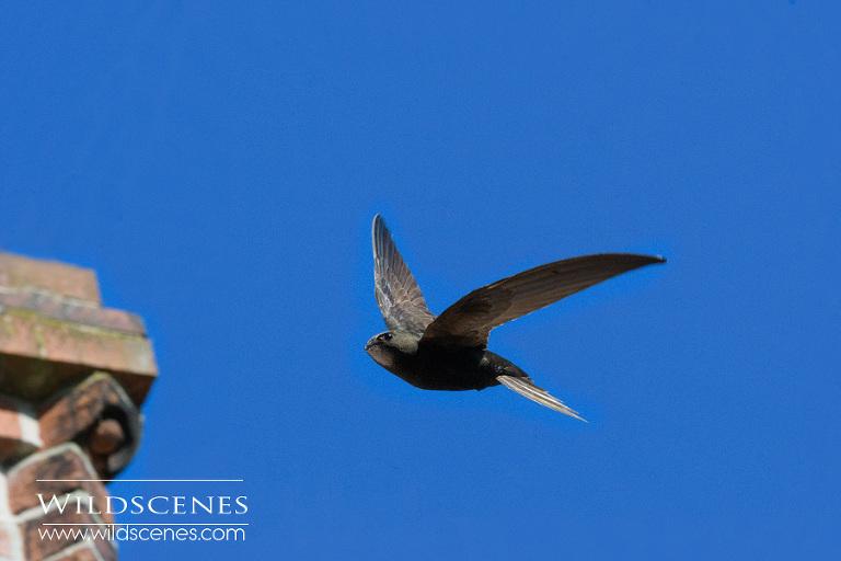 common swift nesting in eaves
