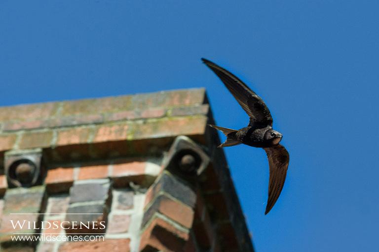 common swift photography