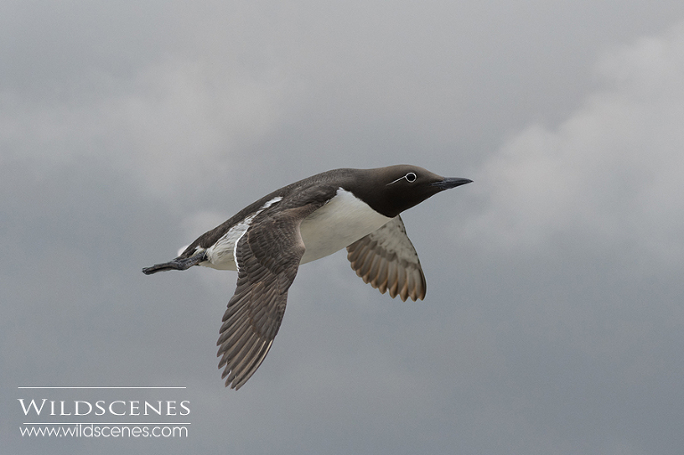 bridled guillemot Farne Islands