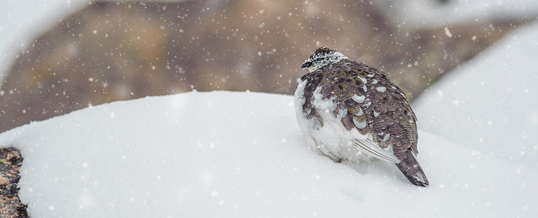 ptarmigan in falling snow