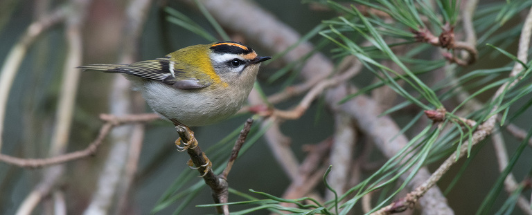 firecrest in Wiltshire