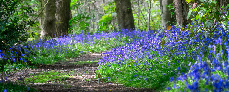 Bluebells at Walton Hall