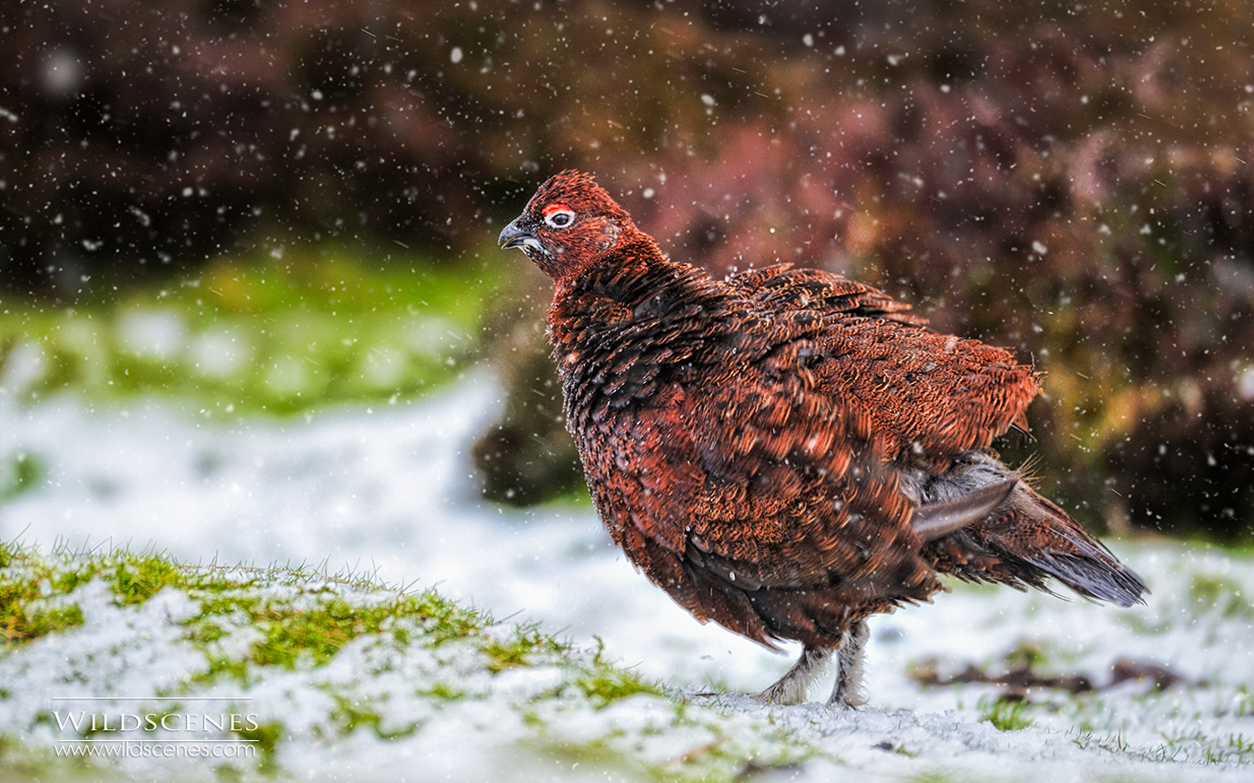 Red grouse in snow flurry, Yorkshire