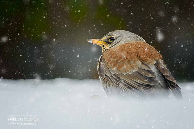 fieldfare in snow | fieldfare in a York Garden