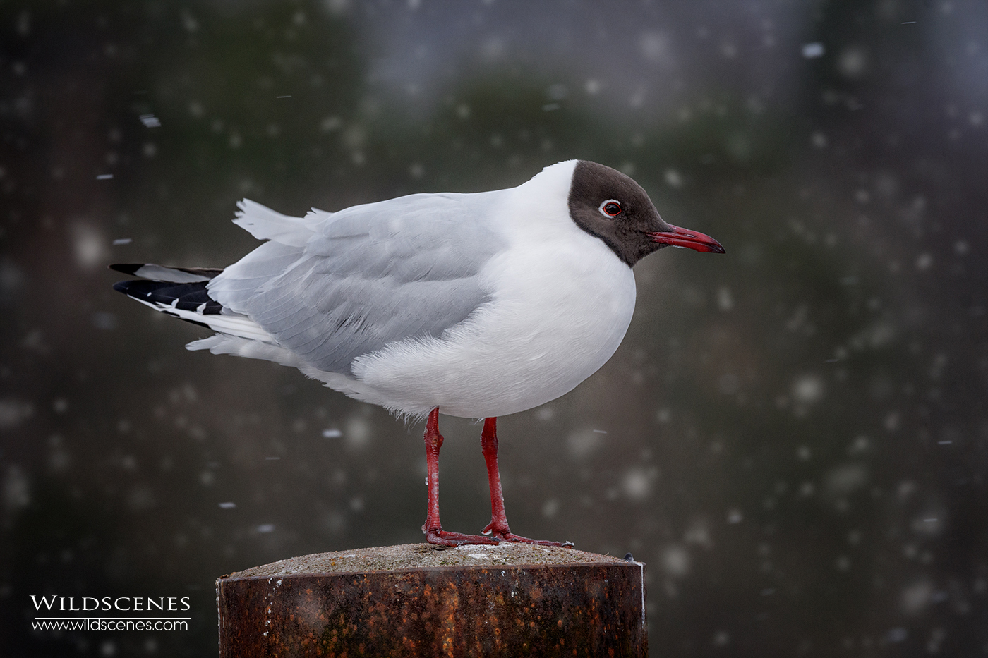 Black-headed gull in snow
