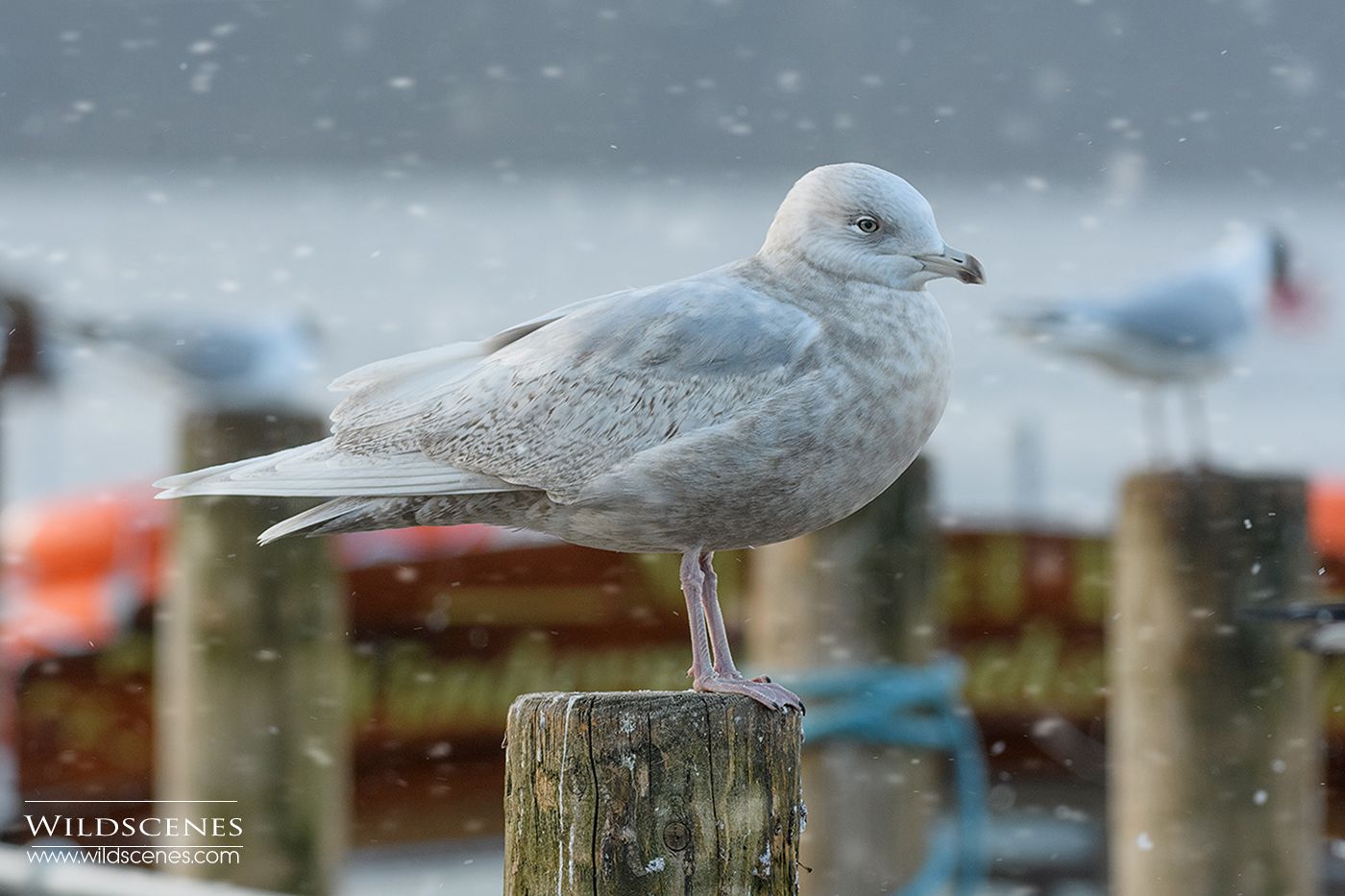 Iceland gull at Bowness on Windemere