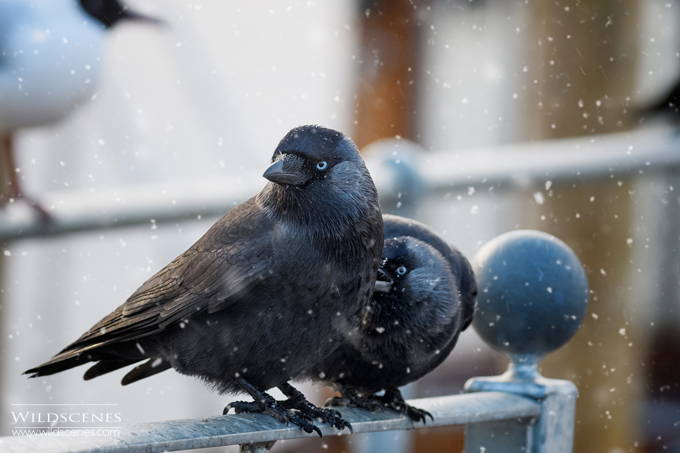 Jackdaws in snow Bowness on Windemere